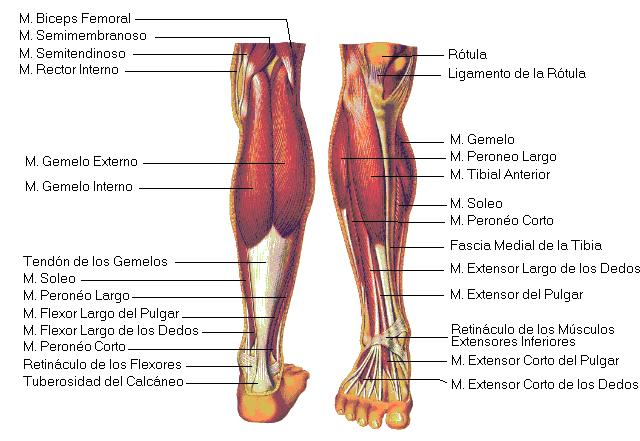 Anatomía de los Gemelos